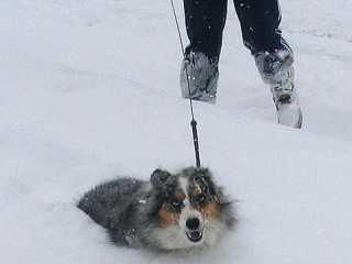 Small dog, deep snow