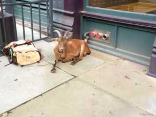 Curbside Goat